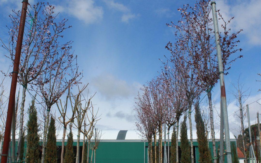 Os Prunus já estão em flor